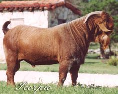T4 Scorpio- One of the best red Boers ever.- #babygoatfarm