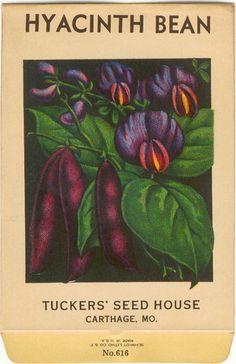 HYACINTH BEAN Vintage Tucker Flower Seed Packet by dvioletlady