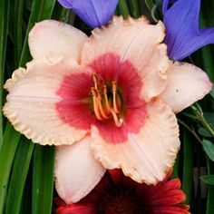Exotic Candy Daylily