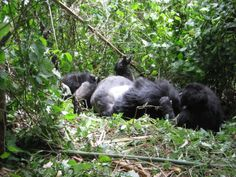 Mountain gorilla enjoying their leisure time at Bwindi national park Uganda -Kampala East Africa