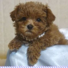 Maltipoo FurBabies is here to help you find the perfect new Maltipoo puppy. Description from pinterest.com. I searched for this on bing.com/images