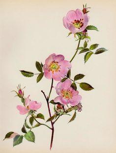 Pink Dog ROSE Print Botanical Print Gallery Wall Art Cottage Decor Roseart 184