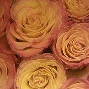 Karen McAfee Photography Gallery- Love Pink Roses