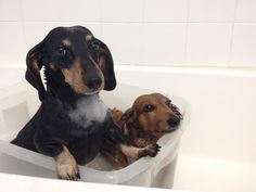 Are we done yet?! (via I love Dachshunds)