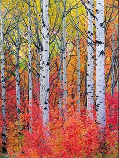 🇺🇸 Maple and aspen trees in the fall (Wasatch Mountains, Utah) by David C…. 🇺🇸 Maple and aspen trees in the fall (Wasatch Mountains, Utah) by David C.
