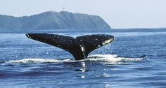 Humpback whales are viewed along Byron Bay beaches from May to October.  Sometimes we are lucky enough to see the whales from Casa Blu.