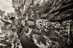 SAVALAN   Azerbaijan   Vineyard   Grapes   Black and White