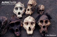 Eastern lowland gorilla skulls, poached for bushmeat during coltan boom Beautiful Forest, Skulls, Rainforests, Congo, Animals, Tattoo, Photos, Animales, Pictures