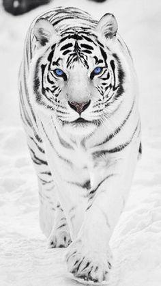 Tigre siberiano!!! Quiero uno!