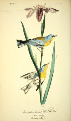 v 2 - The birds of America : - Biodiversity Heritage Library