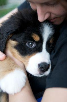 bernese mountain dog pup.