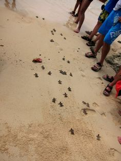 Walk just hatched sea turtles to sea to keep them safe.
