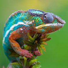 Panther chameleon... I also want that too https://groups.diigo.com/group/hdrelaylivestreaming