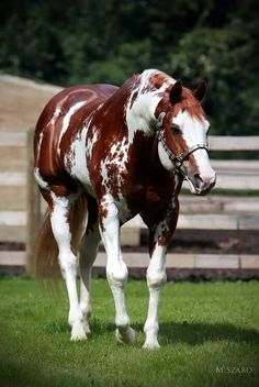 Top 24 horse pictures ever. This one, Beautiful Piebald, Paint horse, Chestnut colored mingled white markings with shiny coat and such a pretty face. What a healthy horse. Look at those muscles! Beautiful Horse Pictures, Beautiful Horses, Animals Beautiful, American Paint Horse, American Quarter Horse, American Flag, Quarter Horses, Cheval Pie, Majestic Horse