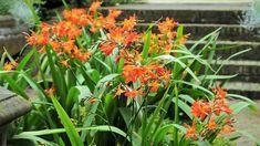 10 pravidel úspěšného pěstování nenáročné montbrecie (Crososmia) na zahradě a v nádobách. Hlíznatá květina miluje slunce, sucho a teplo.