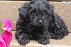 Amanda - Female Yorkiepoo - Yorkie Poo for Sale Black Yorkie Poo, Yorkie Poo For Sale, Yorkie Poo Puppies, Shih Poo, Baby Puppies, Dogs And Puppies, Doggies, Black Dog Day, Cute Little Puppies