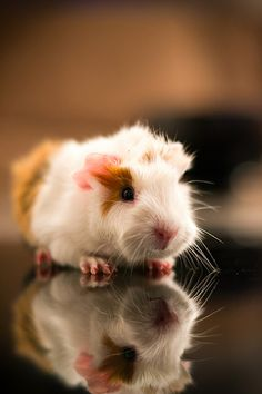 SO CUTE this is what i want one of my piggie's pups to look like. These are her colors, and my daddy piggy's tufts.