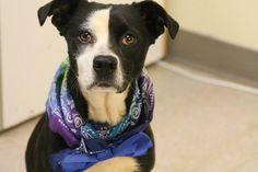 NAME: Domino ANIMAL ID: 25083001 BREED: Retriever SEX: female EST. AGE: 3 yr Est Weight: 29 lbs Health: heartworm pos Temperament: dog friendly, people friendly ADDITIONAL INFO: RESCUE PULL FEE: $49 Intake date: 3/3 Available: Now