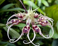 Bulbophyllum Beccarii | Bulbophyllum binnendijkii - Orchid Forum by The Orchid Source