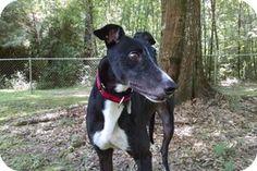 Pearl River, LA - Greyhound. Meet Little Man, a dog for adoption. http://www.adoptapet.com/pet/11283490-pearl-river-louisiana-greyhound