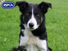 Moss, Border Collie, 2 Years, Chesterfield Animal Centre Pet Search, Chesterfield, Border Collie, Sadie, Goats, Pup, Centre, Wildlife, Animals