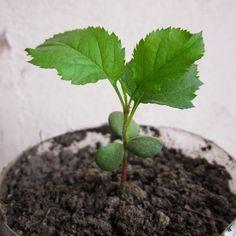 Cómo germinar semillas de manzana - http://www.jardineriaon.com/germinar-semillas-manzana.html #plantas