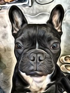 Napoleon the French Bulldog