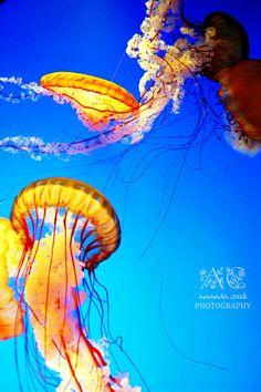 Jellyfish Photography 5x7 Fine Art Print by acreekphotography,