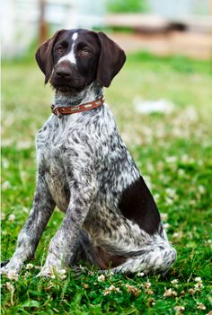 HOW TO TRAIN HUNTING DOGS:  multi color hunting dog in open field. (Visit our page for Step by step tips for training a hunting dog.)