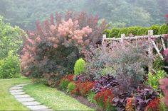 royal purple smoke tree -  Cotinus coggygria