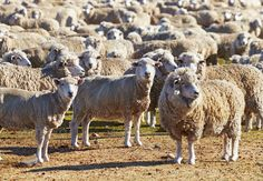 Realistic Graphic DOWNLOAD (.ai, .psd) :: http://jquery.re/pinterest-itmid-1006870305i.html ... Herd of sheep ...  agriculture, animal, breed, chile, countryside, crowd, ewe, farm, farming, fleece, flock, graze, grazing, herd, lamb, livestock, mammal, mutton, nature, pasture, patagonia, ranch, rural, sheep, stack, stock, white, wool  ... Realistic Photo Graphic Print Obejct Business Web Elements Illustration Design Templates ... DOWNLOAD :: http://jquery.re/pinterest-itmid-1006870305i.html