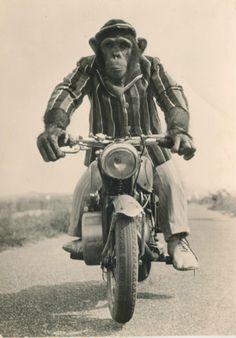 Monkey cyclist.