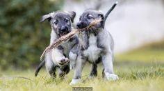 The twin dogs shared a placenta (Credit: Kurt de Cramer)