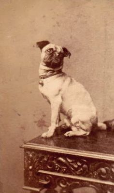 Pugs Might Fly, Pug Might Sit, Pugs look cute either way (cc @PugsMF) [Victorian Pug]