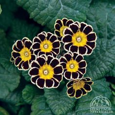 Silver-laced Primrose I'll have a few of these for sale this May at Tower Hill Botanic gardens during the National Primrose show!!