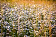 Camomila, Flores, Flores Brancas, Natureza, Glade