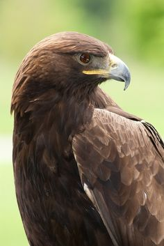 Golden Eagle (Aquila chrysaetos) This bird is part of Wilderness Road State Park's Remarkable Raptors program. Photo by vastateparksstaff, via Flickr.