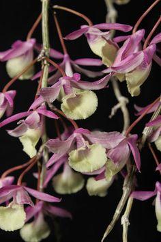Orchid: Dendrobium aphyllum - Flickr - Photo Sharing!