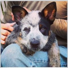 Queensland Blue Heeler Australian cattle dog puppy dogs