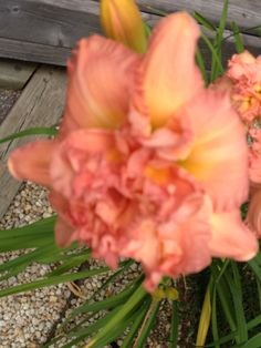 Hemerocailles au 5 Août 2014 Plants, Gardens, Accessories, Flora, Plant, Planting