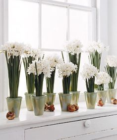 Planting Narcissi for Blooms at #Christmas