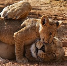 Lioness spending time with her cub