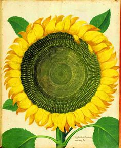 Botanical - Flower - Sunflower - Italian (2)
