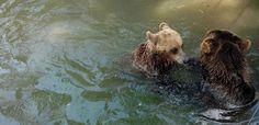 """Din ciclul """"Doi urși de la Grădina Zoologică din #Craiova   au evadat și s-au dus să facă baie în lac în parcul Romanescu"""""""