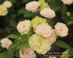 育てやすい緑のバラ「グリーンアイス」のバラ苗