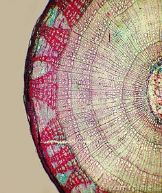 Photo about A microscopic view of the cross section of a Linden (Tilia) stem. Image of linden, histology, biology - 6491295 Patterns In Nature, Textures Patterns, Nature Pattern, Motifs Organiques, Foto Macro, Microscopic Photography, Micro Photography, Microscopic Images, Cross Section