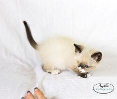 Sir Stuffington: the Cutest Pirate Kitten to Ever Avoid the 7 Seas