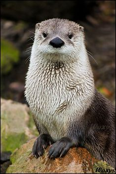 ~~Water queen by *woxys ~ North American River Otter~~