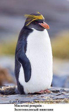Penguin Breeds, Penguin Species, Wild Animals Attack, Animal Attack, Different Types Of Penguins, Group Of Penguins, Macaroni Penguin, Rockhopper Penguin, Penguin