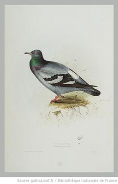 pl.245 : Rock Dove,Columba livia (Linn.)/Drawn from Nature and on Stone by John and Elizabeth Gould.